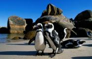 Penguins on Boulder Beach, Cape of Good Hope, South Africa